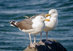 Gull Couple (tresed47) Tags: 2018 201802feb 20180213newjerseybirds barnegatlightsp birds canon7d content february folder greatblackbackedgull gull newjersey peterscamera petersphotos places season takenby us winter