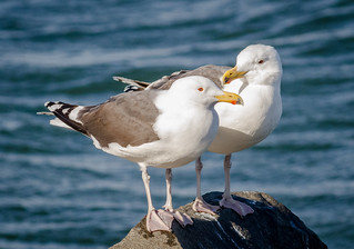 Gull Couple