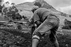 06 (Lechuza Fotografica) Tags: verde cajamarca peruvian farmers agricultores