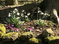 Early Spring Day (valerie C bayley) Tags: peaceful restful green cultivated flowerbed colour planted pretty flower dorothyclivegardens staffordshire gardens plants spring iphone nature sky tree flowers blossom blueskies closeup macro crocus soil wood rocks