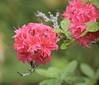 Azalea (MJ Harbey) Tags: azalea flower garden kewgardens royalbotanicgardenskew london nikon d3300 nikond3300 ericaceae plant shrub