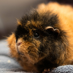 Scruffy (Martin-Fused) Tags: animal blur england fluffy fur guineapig indoors pet scruffy uk bokeh