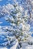 Snow on a Pine Tree (Petur 'Wazhur' Jonsson) Tags: hafnarfjörður capitalregion iceland is snow tree pine ice cold blue winter nature landscape portrait canon 7dmrkii 1755 f28 efs cpl outdoors
