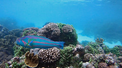 Wrasse, Surge (Terminal phase male) (Insequent) Tags: wrasseslabridae lordhoweisland newsouthwales australia
