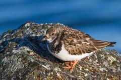 Ruddy Turnstone on the rocks (Susan Jarnagin) Tags: bird barnegatlight nj shorebird wildlife arenariainterpres oceancounty ruddyturnstone