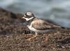 Common Ringed Plover (steve happ) Tags: agadir anza charadriushiaticula commonringedplover morocco