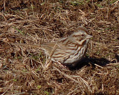 Song Sparrow (Dendroica cerulea) Tags: songsparrow melospizamelodia melospiza passerellidae passeroidea passerida passeri passeriformes psittacopasserae eufalconimorphae aves birds sparrow songbird bird winter donaldsonpark highlandpark middlesexcounty nj newjersey