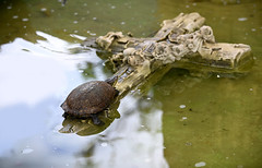 Refuge on the Cross (Poocher7) Tags: water pond cross refuge turtle reptiles havana cuba carribean marblecross safety placeofrest peace contentment cubanslider animals tortuga cruzar resting sleeping atthefootofthecross