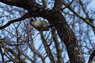 P2131047_  Grünspecht, Picus viridis