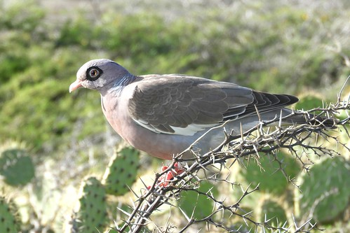 Bare Eyed Pigeon in Aruba