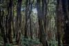Reserva del Olivillo costero (josemcalvol) Tags: olivillo costero valdivia coast reserva bosque native aextoxicon puntactum south america