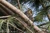 l'occhio (Alessandro.Gallo) Tags: gufo photoalexgallo occhio orecchie mimetizzato mimetismo volatile uccello rapace