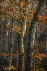 Tree Magic (Tony Phillips Photography) Tags: greatsmokymountainsnationalpark tennessee autumn beech fall fallcolor forest landscape outdoors scenery sunset trees