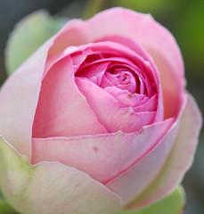 Eden Rose (LuckyMeyer) Tags: rose flower fleur summer garden rosa white pink makro blume blüte plant