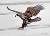 Eagle, Bald 6a (juvenile EB) (MO FunGuy) Tags: bald eagle missouri bird winter