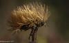 Oh! Coupe dans le vent! (corinnevansteelandt) Tags: fleur nature plante nikon d7100 macro