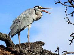 Bloureier /Grey Heron (Bruwer Burger.) Tags: bloureier grey heron