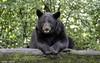 Black Bear (james white Photo) Tags: blackbear bear usa minnesota tree log ursusamericanus