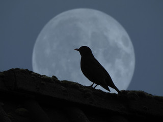 the bird in the moon