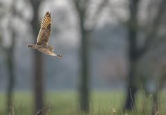 Short-eared Owl BIF (Kees499  Nature pics) Tags: velduil nature birdofprey owl uil holland keesmolenaar alblasserwaard nikon d500 bif birdinflight raptor shortearedowl asioflammeus bokeh