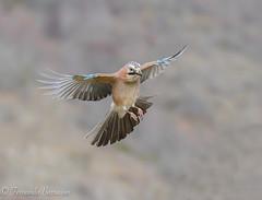 arrendajo en vuelo (barragan1941) Tags: arrendajo aves corvidos cremenes2018 fauna pajaros