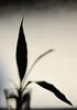 bamboo (javan123) Tags: silhouette shadow light minimal bamboo botany texture bokeh shadows