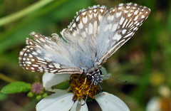 Checkered Skipper Butterfly (Larah McElroy) Tags: photograph photography picture pictures larah mcelroy larahmcelroy bug bugs insect insects butterfly butterflies macro skipper skippers skipperbutterfly skipperbutterflies checkered checkeredskipper checkeredskippers checkeredskipperbutterfly checkeredskipperbutterflies