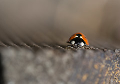 201508MOMODSC_4862-6 (xcyclopex) Tags: coccinelle macro pdc
