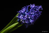 Blue hyacinth (Magda Banach) Tags: bluehyacinth canon canon80d sigma150mmf28apomacrodghsm blackbackground blue colors flower flowers green macro nature plants