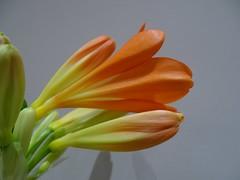 Clivia miniata flowers (Kniphofia) Tags: clivia orange flowers houseplant