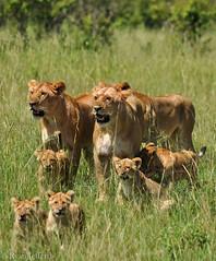 The Pride (Ryan Jefferds) Tags: 2018 africa color kenya lion lioness masaimara nature nikon nikond5000 outdoor wildlife bokeh