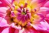 2018-01-29_05-48-01 (cristinarebosio) Tags: dalia flower sbocciare giallo rosa pink yellow parco villataranto verbania lagomaggiore dettagli petali
