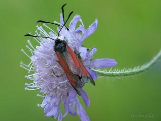 Thymian-Widderchen (Zygaena purpuralis)