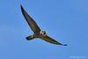 Falco pellegrino (Massimo Greco *) Tags: falco pellegrino naturethroughthelens