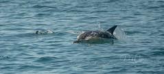 Dolphins off Wellington's South Coast (111 Emergency) Tags: wellington nz new zealand south coast lyall bay moa point dolphin dolphins
