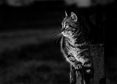 Cat in half light (Zèè) Tags: chat cat tabby tiggy black blackandwhite bw blanc white light monochrome