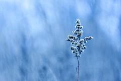Blue winter. (agnieszka.a.morawska) Tags: dof macro manuallens meadow nature bkhq beyondbokeh bokehlicious helios44m helios44 helios flower blue winter