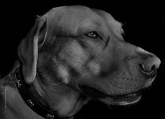 My boy by Julie Adams (julz.adams) Tags: pet profile red retriever labrador lab bw animals white black photo flickr eyes eye dogpic photographer p photography portrait dog