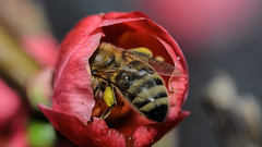 Miam Miam (George Κ.) Tags: bee pollen flower honey