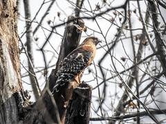 Red-shouldered Hawk (atlnature) Tags: masonmillpark decatur georgia unitedstates us