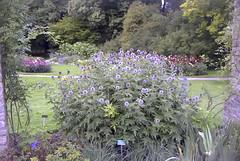 Beautiful bush in the botanical gardens of Visby Gotland Sweden. (bellrich1941) Tags: visby gotland sweden flower tree grass park