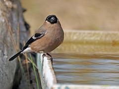 Hembra de Camachuelo común (Pyrrhula pyrrhula) (19) (eb3alfmiguel) Tags: aves pájaros fringillidae passeriformes camachuelo común pyrrhula