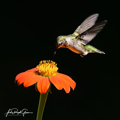 """This immature male ruby-throated hummingbird is """"Resilient"""" - Judy Royal Glenn Photography (Judy Royal Glenn) Tags: 2017 hummingbird bird birds birdsinbackyard flower mexicansunflower sunflower wildlife wildlifephotography wildlifeandnaturephotographer birdphotography birdphotos birding hummingbirds hummingbirdphotos judyroyalglennphotography judyroyalglenn nature naturephotography georgia athensgeorgia athens rubythroatedhummingbird rubythroatedhummingbirdimmaturemale"""
