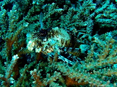 Lionfish (markb120) Tags: animal fauna fish coral water sea underwater diving scuba