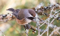 Boreal Chickadee (Melissa M McCarthy) Tags: borealchickadee chickadee songbird bird animal nature outdoor cute tiny portrait brown neutral forest stjohns newfoundland canada canon7dmarkii canon100400isii