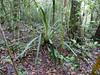 Bromeliad (Disteganthus gracieae) (berniedup) Tags: kaw roura guyane bromeliaceae disteganthusgracieae taxonomy:binomial=disteganthusgracieae