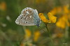 1N6A3960 ( UNIXetvous ) Tags: flower insect papillon butterfly jaune yellow