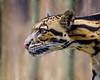 Aiya (tlightpainter) Tags: clouded leopard tampa fl southeast asia