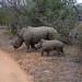 Maman rhino et bébé Afrique du sud _3978