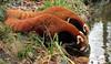 red panda Blijdorp BB2A9030 (j.a.kok) Tags: panda redpanda rodepanda kleinepanda blijdorp animal mammal asia azie china zoogdier dier